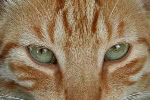 Ginger Cat's Eyes