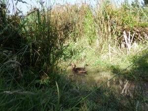 Duck & Duckling in the Wetlands