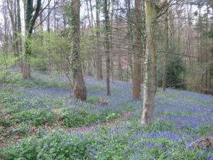Bluebell Time, Stoke Park Wood, Eastleigh