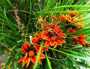 Gazalia flowers in my garden
