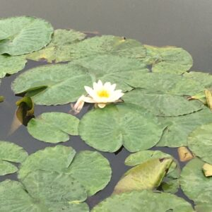 Summer pond flowering lily